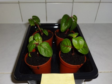 Fuchsia Cuttings