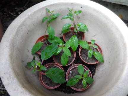 Fuchsia dGD1