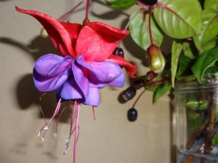 Fuchsia1