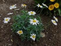 Anthmis Plant