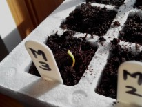 Seedling Marigold Y