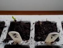 Seedling Zinnia